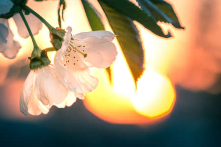 Branch of cherry blossoms under sunset with flare in the background
