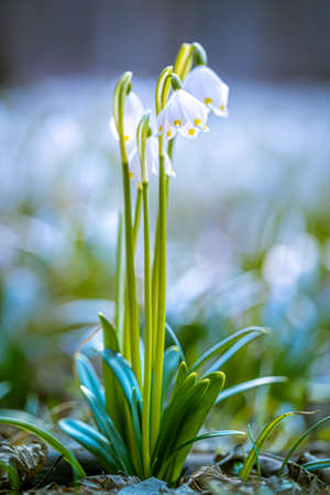 Leucojum vernum or spring snowflake - blooming white flowers in early spring in the forest, closeup macro picture.