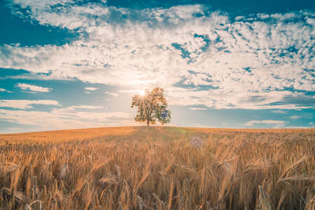 Solitary Tree in Field of Wheat and Barley in Summer Landscape under Blue Sky