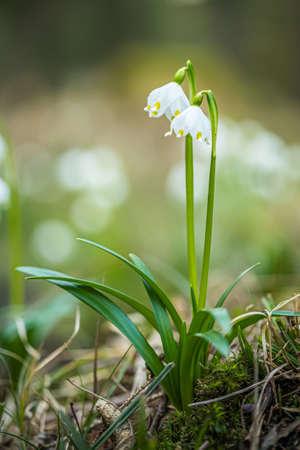 Leucojum vernum, called spring snowflake, in the spring forest. Beautiful carpet of flowering spring snowflake. Spring concept.