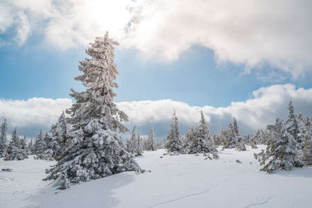 Majestic white spruces trees glowing by sunlight agains dark blue sky. Gorgeous winter scene. Location place Czech republic, Krkonose. Standard-Bild