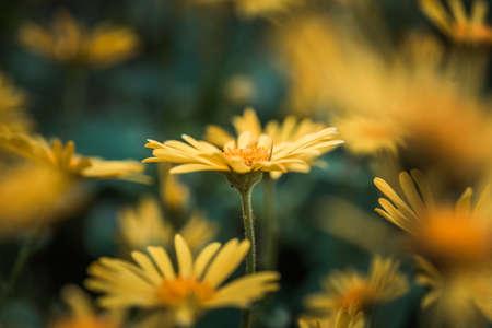 Doronicum orientale yellow flower close up. Also known as leopards bane flowers. Daisy like flower, moody background. Standard-Bild