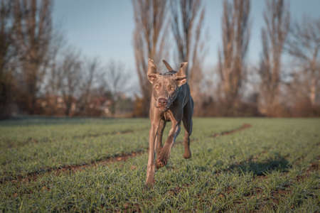 Purebred Weimaraner dog outdoors in the nature on grass meadow on a autumn day. Standard-Bild