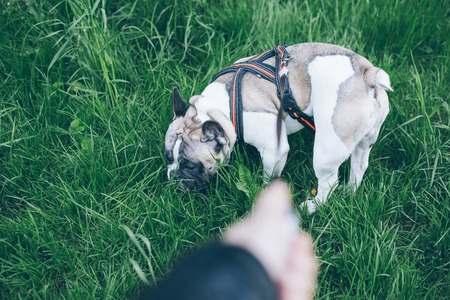 frenchie: hand with leash lead french bulldog