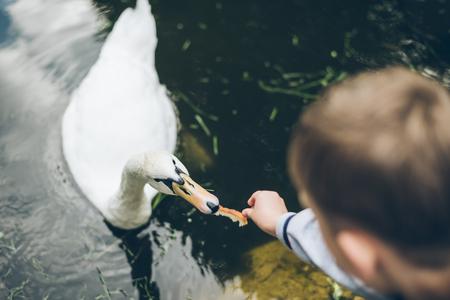 Kid nourrir le cygne avec du pain Banque d'images - 80845673