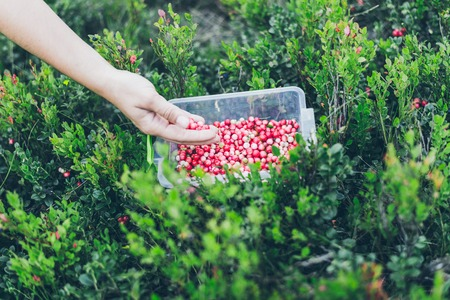 gather: Picking lingonberry. Woman gathering wild berries.