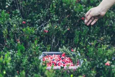 plucking: Picking lingonberry. Woman gathering wild berries.