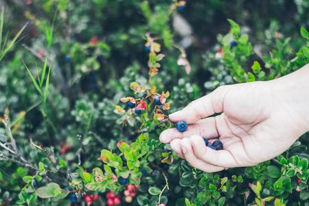 Picking lingonberry. Woman gathering wild berries.