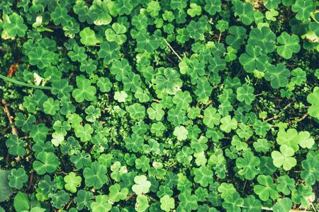 clovers: Uniform grass with clovers