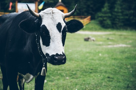 close up photo of cow with bell