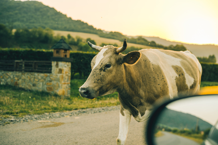 cows on the road on sunset Stock Photo
