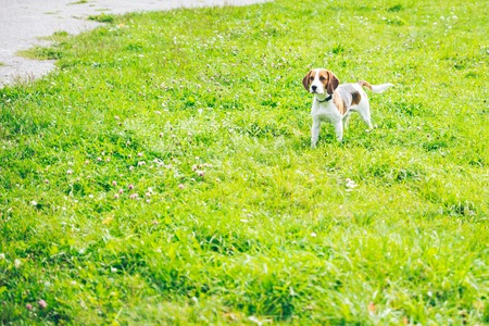 beagle hond spelen outsside Stockfoto