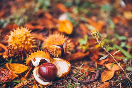 horse chestnut buckeye conker outside in the wood