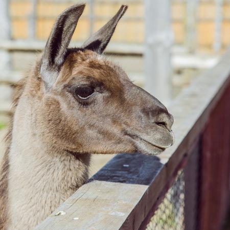 lama at zoo close up. sunny day