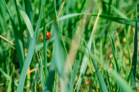 ladybug close up in green filed Stock Photo