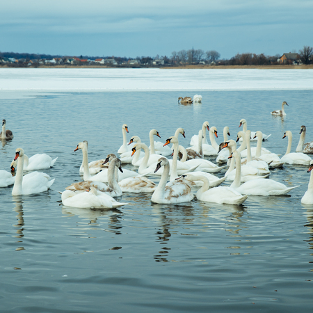 lot of swans on the lake in winter day Stock Photo