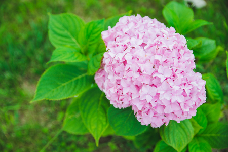 blooming pink hydrangeas flowers close up. spring is coming Stock Photo