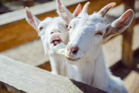 goat close up. zoo life. farming Stock Photo