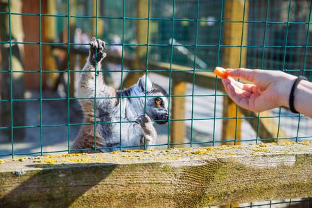 woman feeding lemur at zoo. life in custody