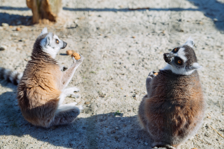 lemur at zoo. life in custody