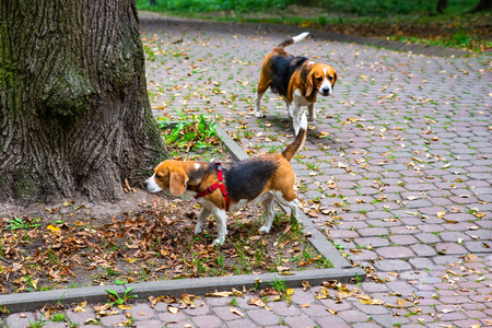 couple of beagle dogs walking in city park. pets concept Фото со стока