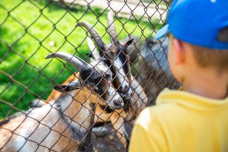 little boy feeding goats in contact zoo. summer time Standard-Bild - 121622948