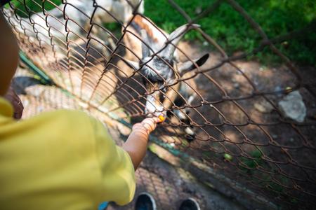 little boy feeding goats in contact zoo. summer time Standard-Bild - 121625864