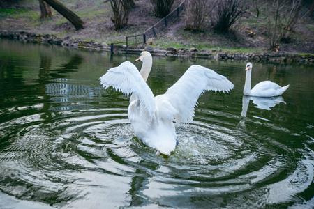 swimming couple swans at lake close up