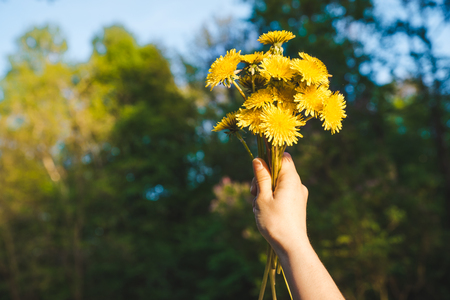 woman hand holding bouquet of yellow dandelions. green background