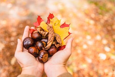 chestnuts in woman hands overhead view autumn is coming Archivio Fotografico