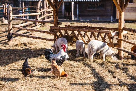 sheep and chicken at contact zoo farm. feeding animals Stock Photo
