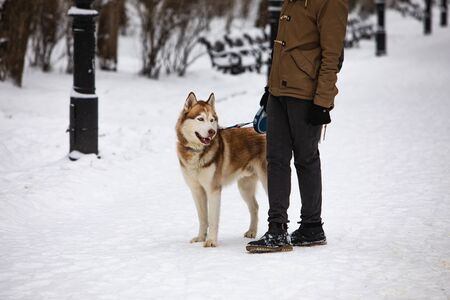 man walking with brown husky dog by snowed winter park domestic pet Banco de Imagens