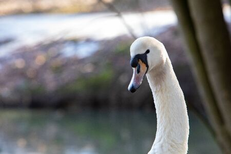 white swan portrait. wilde animals. close up