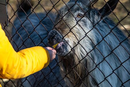 little kid feeding goat in contact zoo through fence