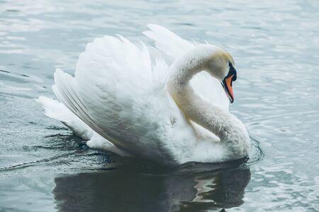 white swans in blue lake water