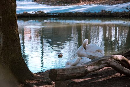 two swans cleaning them selves at lakeshore. wild life