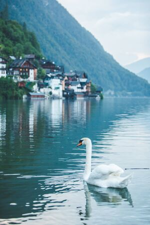 swans in lake hallstatt town on background copy space