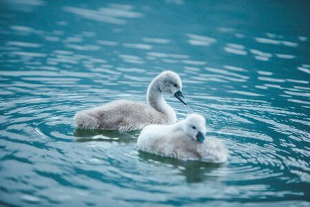 swans family in lake water close up love care Standard-Bild - 139601824
