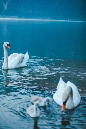 swans family in lake water close up love care Standard-Bild - 139602189