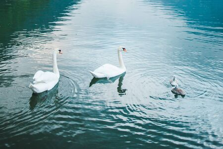 swans family in lake water close up love care 스톡 콘텐츠