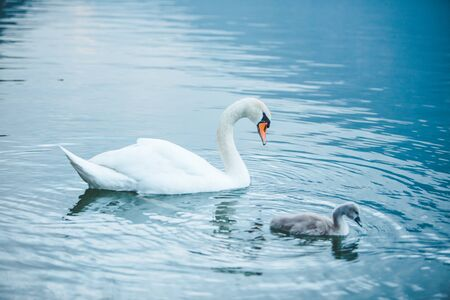 swans family in lake water close up love care Banque d'images