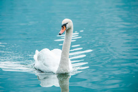 floating white swan in clear blue water Banco de Imagens