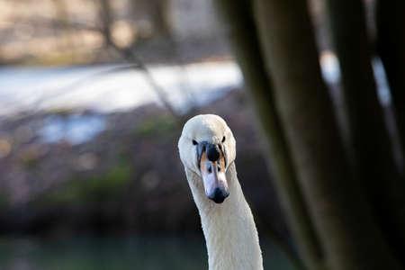 white swan portrait. wilde animals. close up