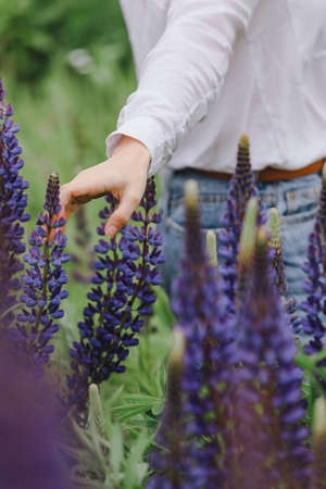 blooming lupines flowers in women hands Banque d'images