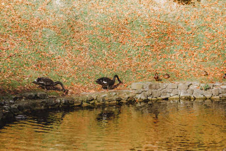 black swans on the beach of autumn lake. copy space