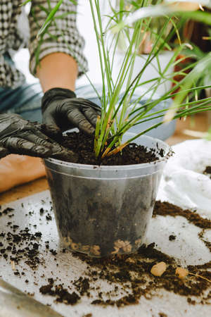 woman transplanting flowers in bigger pots at home. copy space
