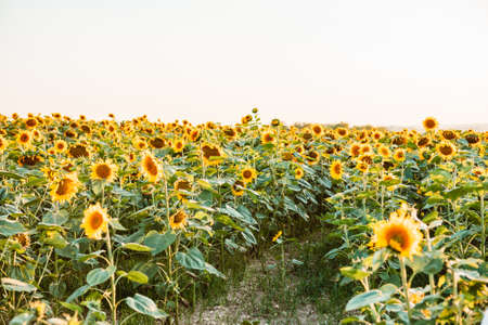 view of sunflowers field copy space