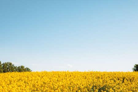yellow flowers of rapeseed field blue sky copy space Standard-Bild