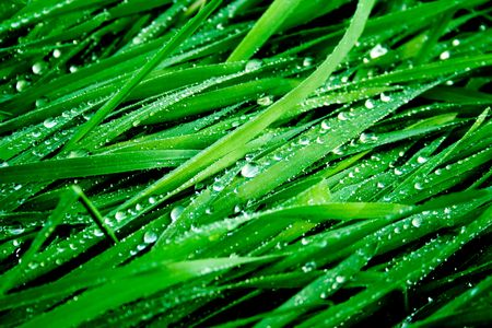 Dew on a juicy green grass
