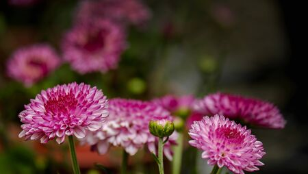 aster: red aster tropical flower